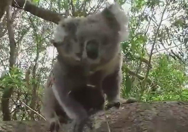 Koala Joeys Climb All Over Their Mum