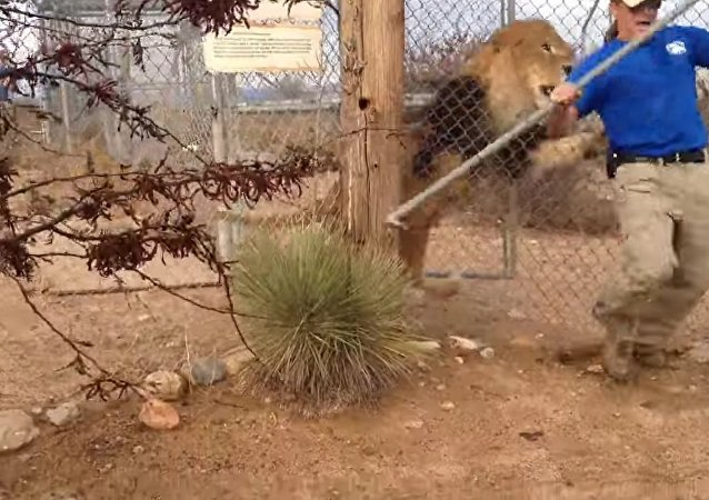Lion Scares the Pants off Zookeeper