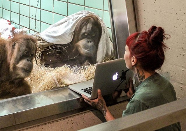 Orangutans watches a video of a male orangutan in a Belgian zoo
