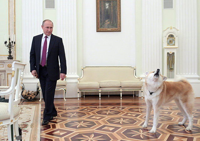 December 7, 2016. The Moscow Kremlin. Russian President Vladimir Putin and his Akita-inu dog Yume before being interviewed by Nippon Television Network Corporation and Yomiuri Shimbun in the run-up to his official visit to Japan