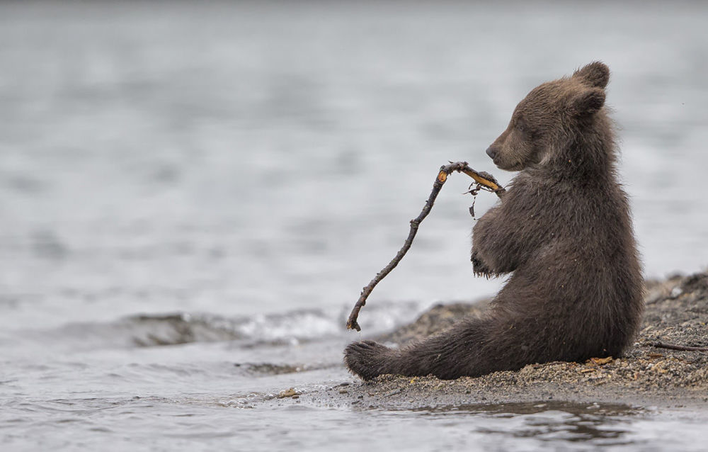 The young cubs like to play. This one was having fun with a small stick. After biting it, he relaxed for a few seconds, looking like a little fisherman (Kamchatka, Russia) by Marco Urso, Italy.
