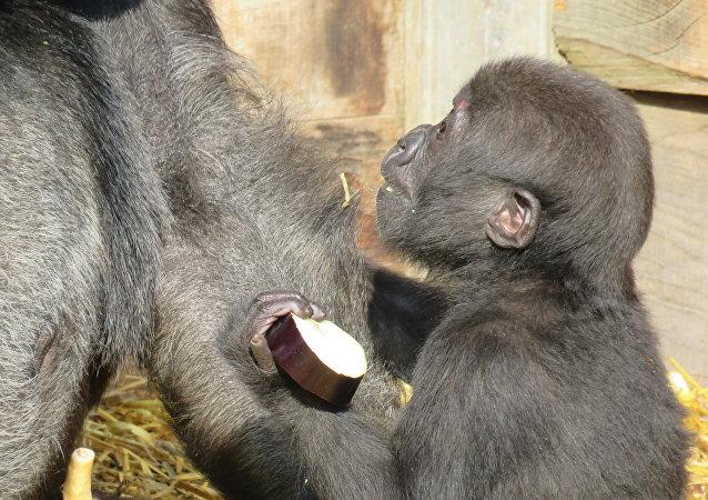 Bristol Zoo baby gorilla