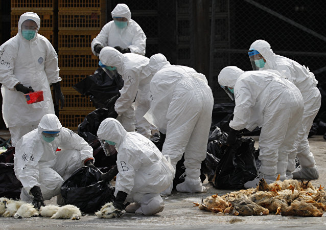 Health workers in full protective gear pick up killed chickens in plastic bags after suffocated them by using carbon dioxide at a wholesale poultry market in Hong Kong (File)
