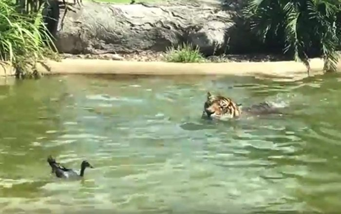 Brave duck plays with Tiger