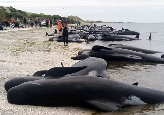 Whales are stranded at Farewell Spit near Nelson, New Zealand Friday, Feb. 10, 2017.