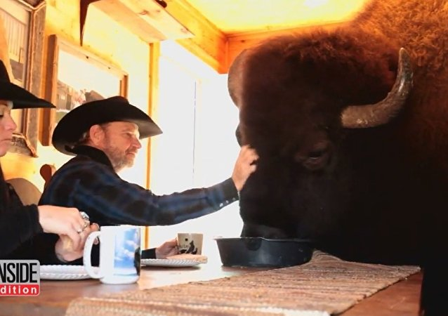 This Pet Buffalo Named Wild Thing Has Its Own Room And Likes Action Films