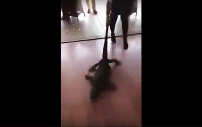 French waitress pulls goanna from restaurant thinking it was a dog