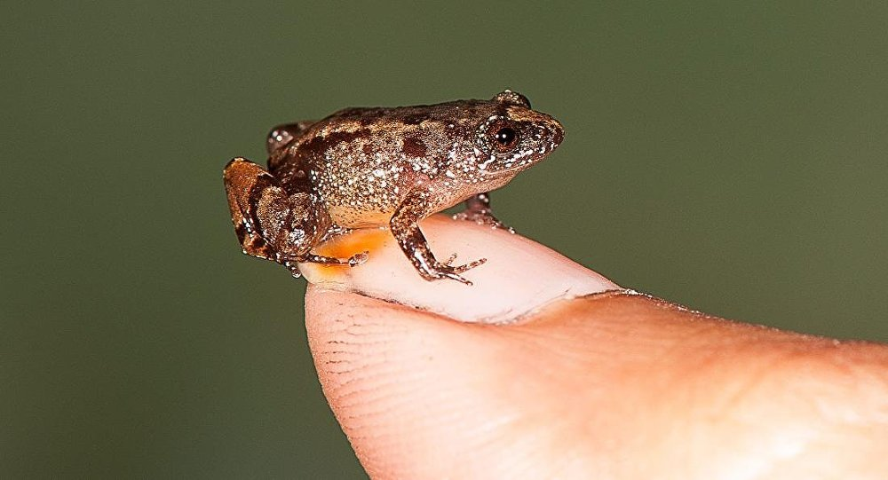 Vijayan's night frog (Nyctibatrachus pulivijayani), a newfound 13.6-millimeter frog, sits comfortably on a thumbnail