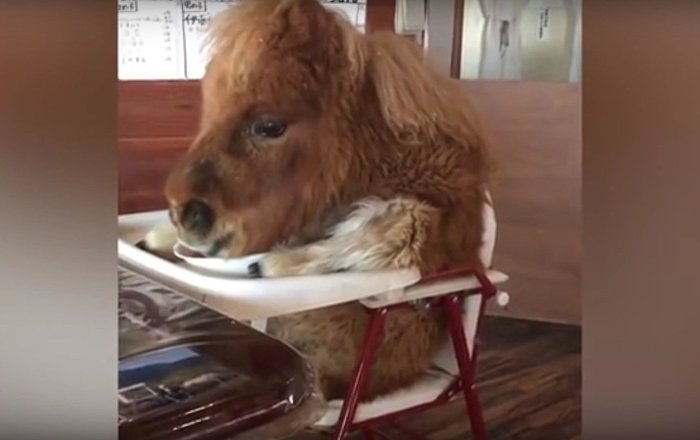 Miniature horse eating in a high chair sparks online outrage