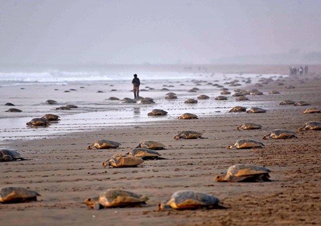 Olive Ridley Turtles (Lepidochelys olivacea) return to the sea after laying their eggs in the sand at Rushikulya Beach, some 140 kilometres (88 miles) south-west of Bhubaneswar, early February 16, 2017.