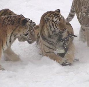 Chubby Siberian Tigers Hunt Electronic Bird of Prey