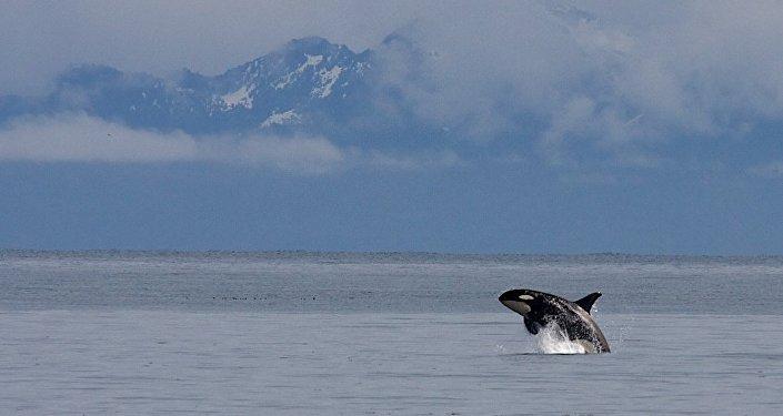 Orca in Kenai Fjords National Park