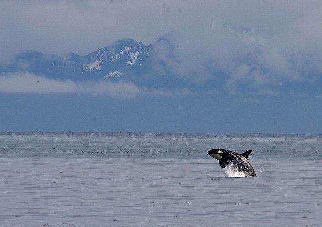 Orca in Kenai Fjords National Park