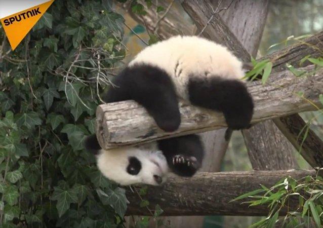 Vienna's 6-Month-Old Pandas Meet The Public