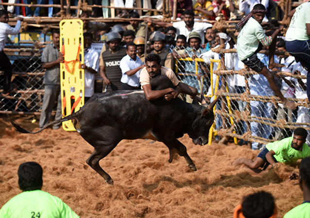 An Indian bull charges through a crowd of 'bullfighters' during an annual bull taming event Jallikattu in the village of Palamedu on the outskirts of Madurai on February 9, 2017
