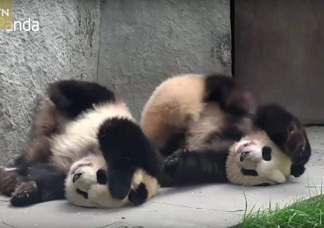 It itches! Check out these pandas enjoying a good scratch