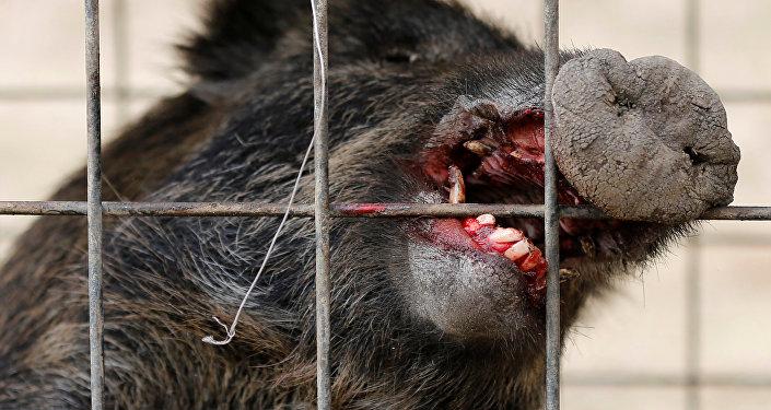 Wild boar is seen in a booby trap near a residential area in an evacuation zone near TEPCO's tsunami-crippled Fukushima Daiichi nuclear power plant in Tomioka town