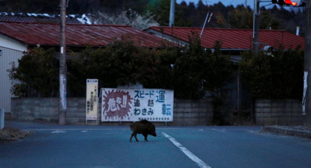 Wild boar walks on a street at a residential area in an evacuation zone near TEPCO's tsunami-crippled Fukushima Daiichi nuclear power plant in Namie town