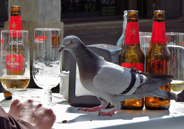 'Carrier pigeon' and beer