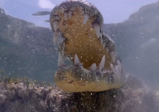 Brave Tourists Swim With 13 Foot Crocodiles