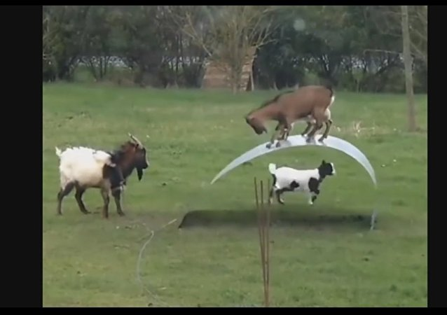 How to keep goats entertained