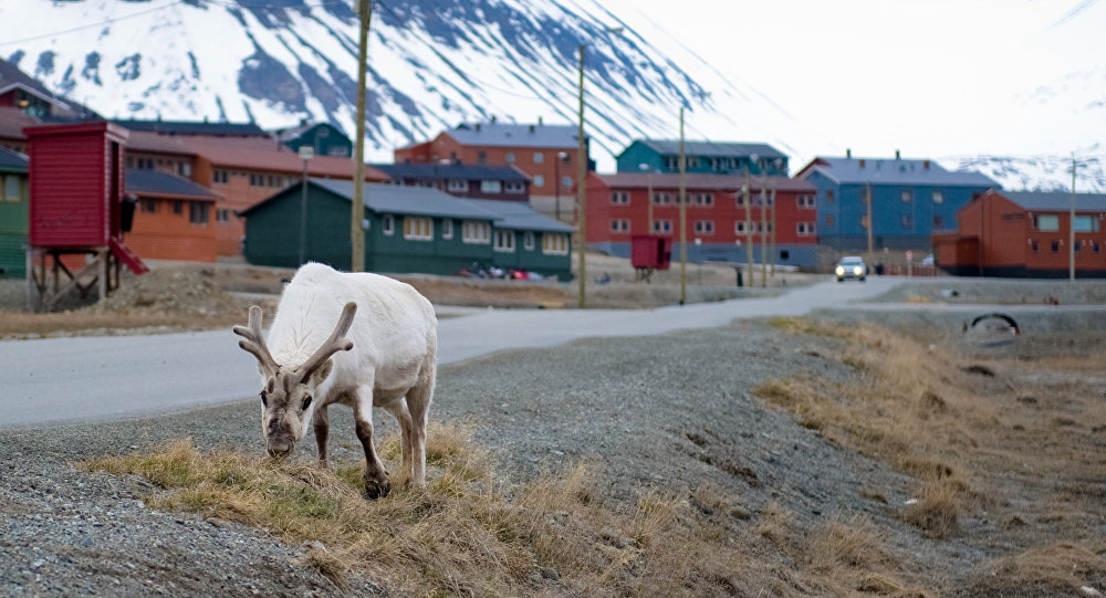 A reindeer eats in the streets of Longyearbyen