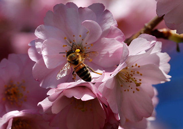 A bee searches for pollen among cherry blossoms on a sunny spring day in Lausanne, Switzerland March 20, 2017