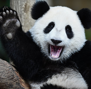 One-year-old female giant panda cub Nuan Nuan reacts inside her enclosure during joint birthday celebrations for the panda and its ten-year-old mother Liang Liang at the National Zoo in Kuala Lumpur on August 23, 2016.