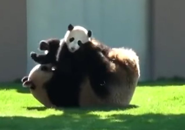Panda plays with her baby