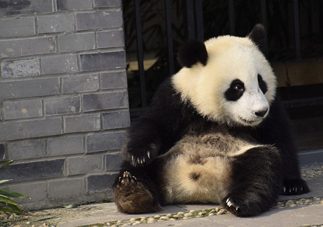 An early photo of one-year-old Wu Wen at home in Dujiangyan base of the China Conservation and Research Center for Giant Panda in Chengdu, Sichuan Province