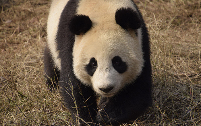 conservation of panda or to protect China has established a system of nature reserves to protect the species' forested to support china's giant panda conservation programs and enhance the long.