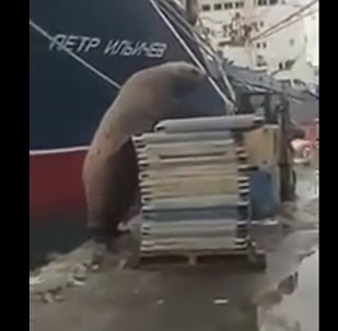 Busted! Hungry Sea Lion Steals Fish in Russian Port
