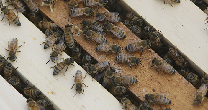 Honey bees congregate on top of frames
