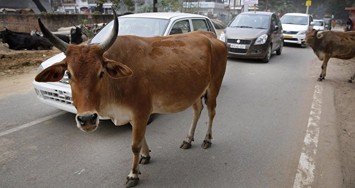 Motorists drive past stray cows roam on a road in Allahabad, India