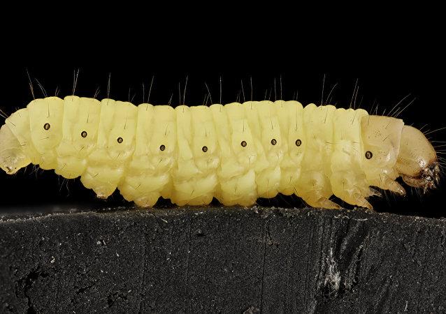 Galleria mellonella - The waxworm