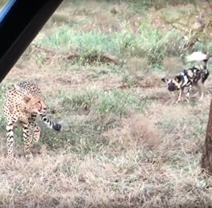 Wild Dogs vs Cheetah Standoff Over Kill