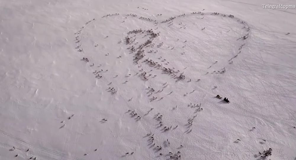 Norwegian Shepherd Forms Giant Heart Using Hundreds of Reindeer