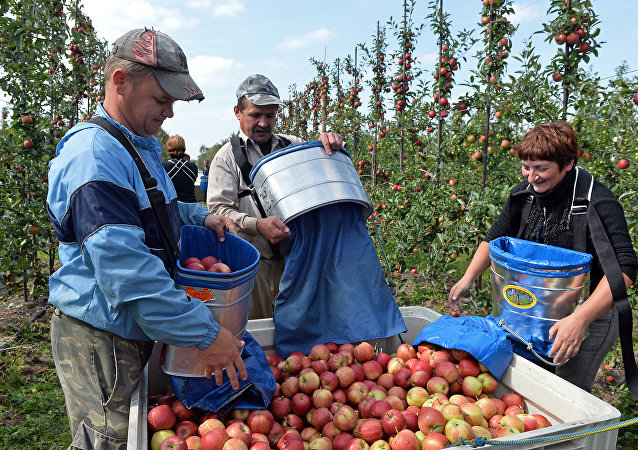 Ukrainian workers pick up apples at an apple orchard near Leczyszyce. File photo