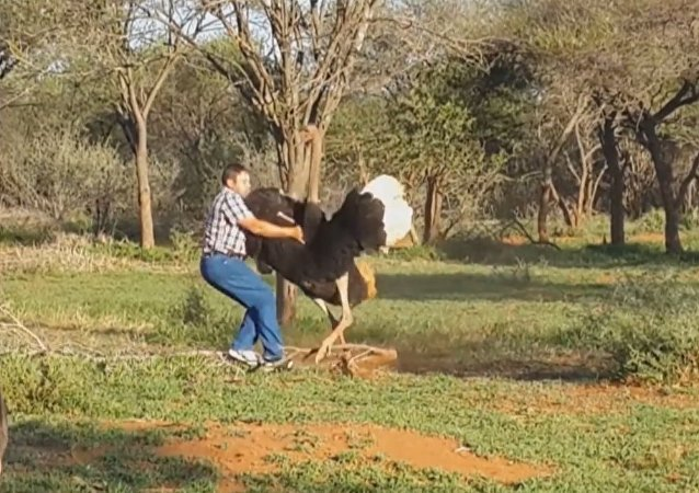 Shocking Moment Ostrich Attacks Man