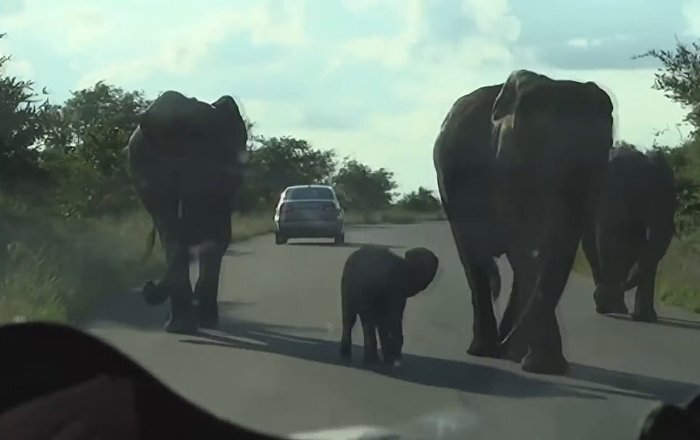 Cheeky and Brave baby Elephant Protects his Mom. Kruger National Park