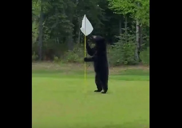 Bear Interrupts a Game of Golf in Anchorage, Alaska