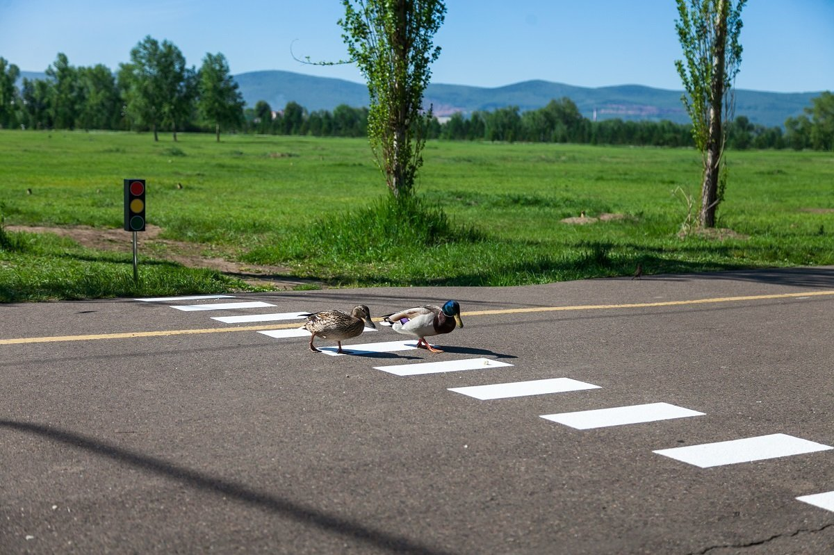 Crosswalk for marmots and ducks