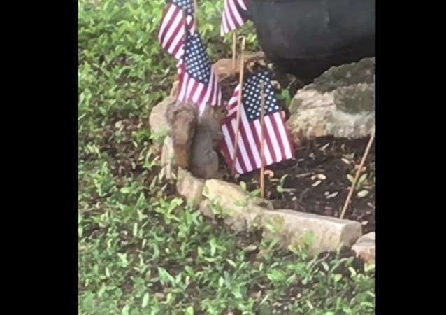 Patriotic squirrels stealing American flags for her nest
