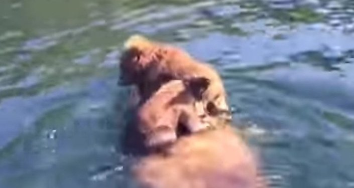 Grizzly Cubs Hitch a Ride
