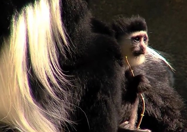 Baby Colobus Monkey Checks Out His Newly Remodeled Habitat