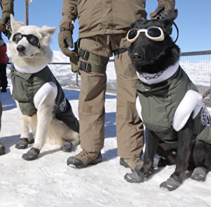 Dogs to the Rescue: Chile Paw Patrol in Special Work Attire