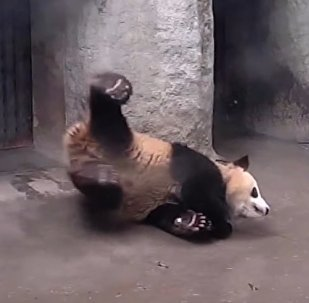 Panda Lesson: Fell down? Just remain in position and don't stand up!