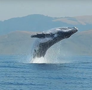 40 Ton Humpback Whale Leaps Entirely Out of the Water! A Video by Craig Capehart