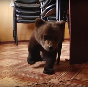 3-Month-Old Orphaned Bear Cub Rescued In Russia