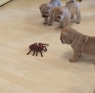 Eight Shar Pei Pups Take On Robotic Spider